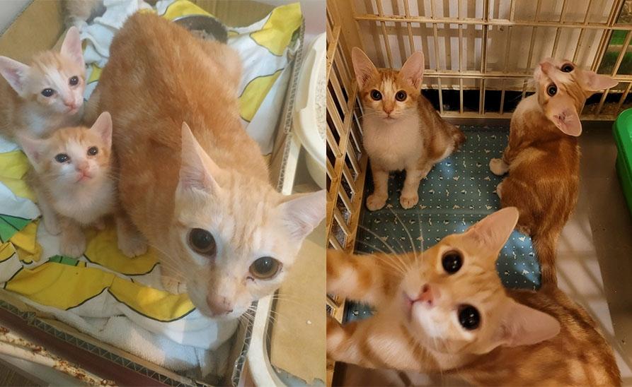 【社團法人台灣流浪貓關懷協會】年前送養最後一炮-橘子一家三口一起送