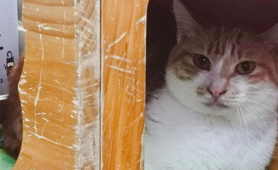 【社團法人台灣流浪貓關懷協會】膽小的「圓圓」去新家了