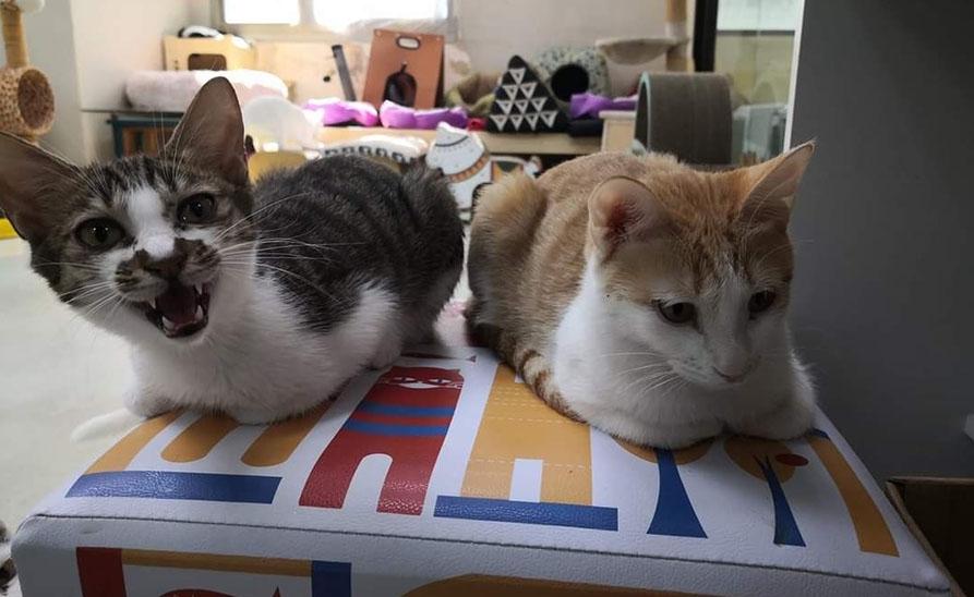 【社團法人台灣流浪貓關懷協會】橘白貓「小米」找到一輩子的奴才了